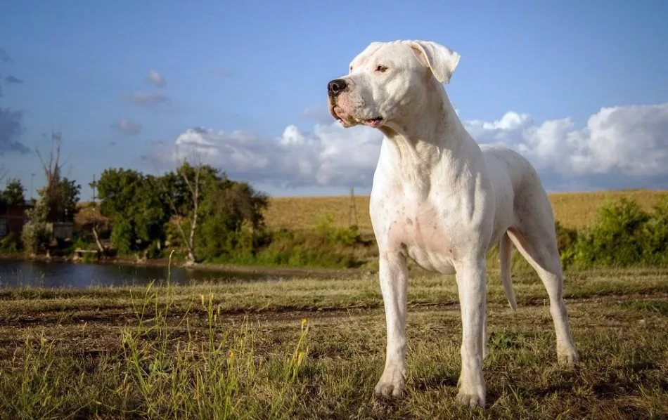 Породы собак, опасные для человека